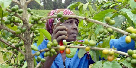 قهوه مالاوی malawi coffee